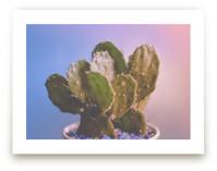 Cotton Candy Cactus
