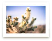 Joshua Tree Blooming Cactus