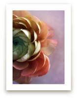 Romantic Ranunculus
