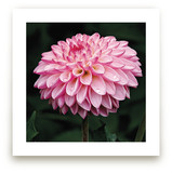 Porcupine Dahlia by A Maz Designs