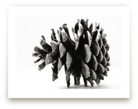 Pine Cone Black & White by Alexis Arnold