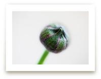 Budding Ranunculus 1 by Jessica Marchetti