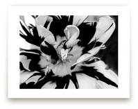Zebra Petals by Monica Janes Fine Art