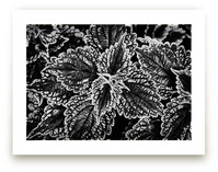 BW Leaves by Alexis Arnold