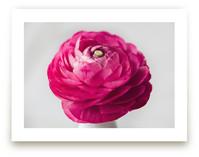 Budding Ranunculus 3 by Jessica Marchetti
