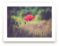 Red Poppy Flower by Lying on the grass
