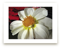 Pure White Dahlia by A Maz Designs