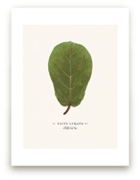 Ficus lyrata by Andrew McClintock