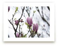Sugar Magnolia by Karen Kaul