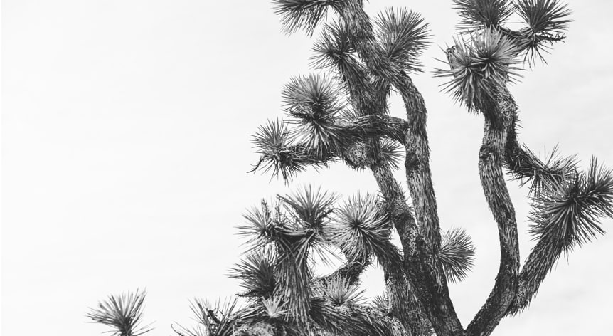 Joshua Tree in September Art Print