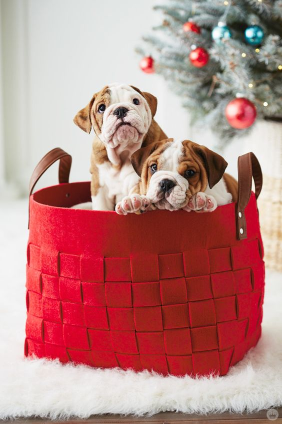 dogs in a red basket