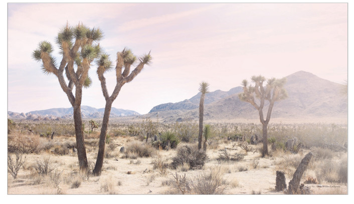 Joshua Tree no. 10 by Wilder California