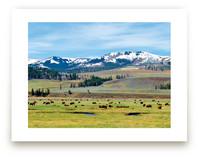 American Bison by Abby Niziol