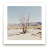 Ocotillo by Abby Laverick