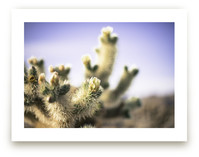 Joshua Tree Blooming Cactus