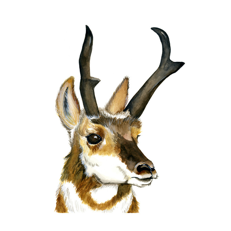 Pronghorn Wall Art Prints by Molly Schafer | Minted