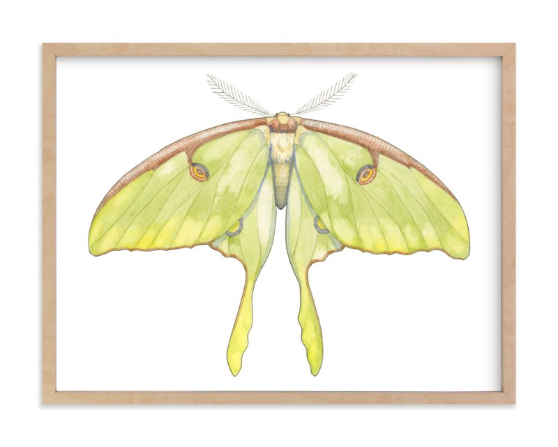 """""""Luna Moth"""" - Limited Edition Art Print by Natalie Groves in beautiful frame options and a variety of sizes."""
