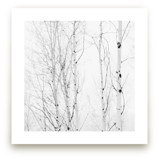 White Aspens by Jessica Cardelucci Nugent