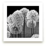 Allium Afletunense by Jason Derck