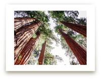 Soaring Sequoias by Matthew Sampson