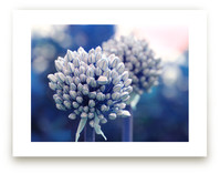 Allium in Indigo