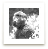 mr BABOON