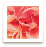 sherbet rose 2
