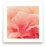 sherbet rose 3