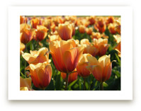 Sunshine Tulips by Jan Kessel