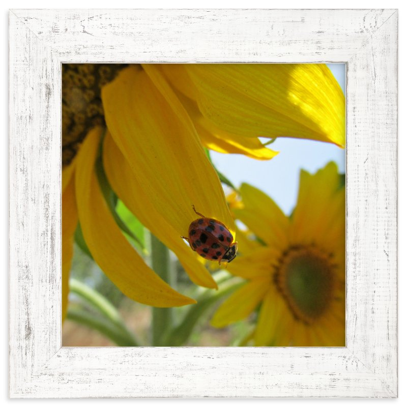 """Lady Bug on a Sunflower Petal"" - Art Print by Skoodler Designs in beautiful frame options and a variety of sizes."