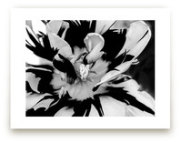Zebra Petals by Monica Janes Fine Art