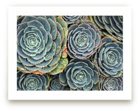 Raindrops on Succulents by Becky Nimoy
