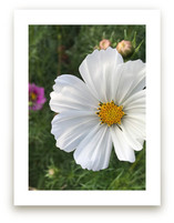 White Cosmos by Misty Hughes