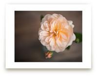 English Garden Rose by Ilze Lucero