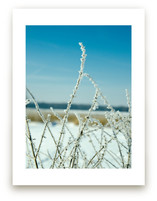 Frosted Prairie Plant by Paul Hodges