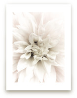 Soft Dahlia Study 1 by Julie Blackwood