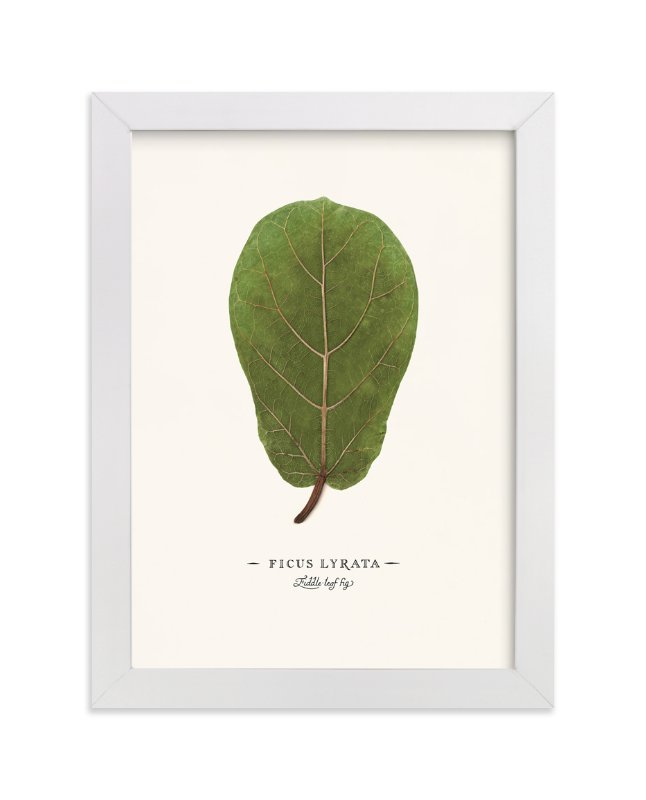 """Ficus lyrata"" - Art Print by Andrew McClintock in beautiful frame options and a variety of sizes."