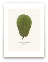 Ficus lyrata by Andrew McClintock