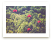 Red Poppy Flowers by Lying on the grass