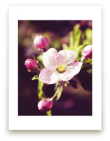Pink Apple Blossoms in... by Katrina Lindhorst