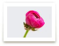 Budding Ranunculus 2 by Jessica Marchetti